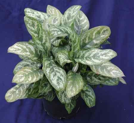 Plantas comunes que sanan el espacio vital red for Plantas decorativas interior venenosas